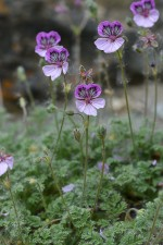 Erodium glandulosum (Cav.) Willd., 1800